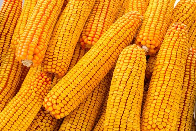 Kukurydza na tle kolby