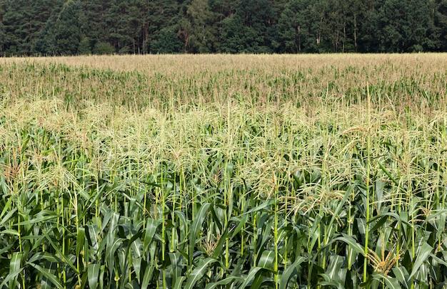 Kukurydza rosnąca na polach uprawnych, niedojrzała zielona