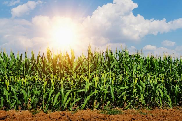 Kukurydzany dorośnięcie w plantaci z słońcem i niebieskim niebem