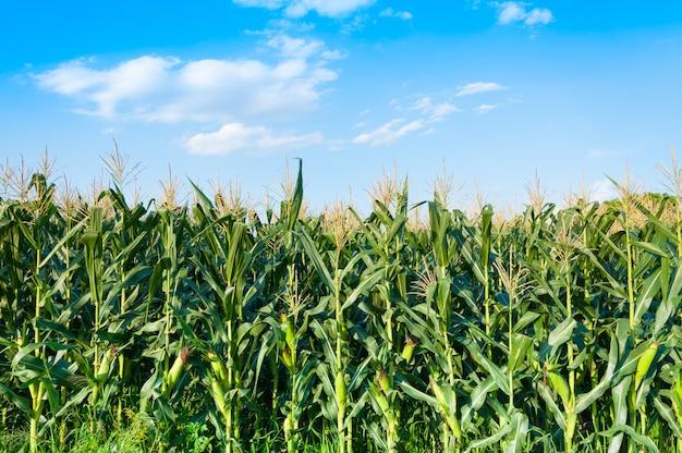 Kukurydzany pole w jasnym dniu, kukurydzany drzewo przy rolną ziemią z błękitnym chmurnym niebem