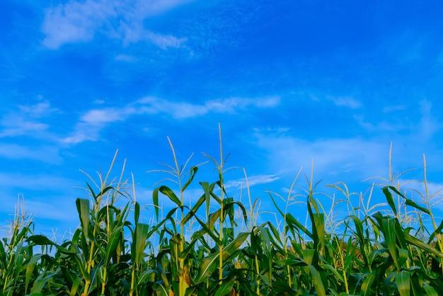 Kukurydzany pole w jasnym dniu, kukurydzany drzewo z błękitnym chmurnym niebem