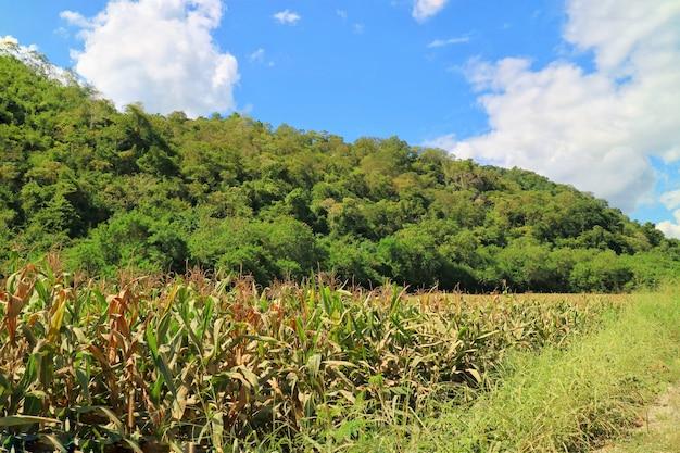 Kukurydzany pole z dużą górą i dużym zielonym drzewa tłem