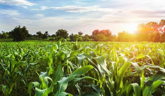 Kukurydzany pole z zmierzchem przy wsią