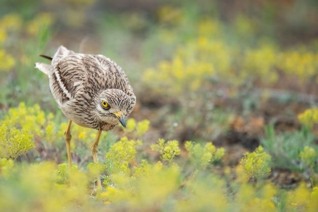 Kulik zwyczajny (burhinus oedicnemus) spaceruje po pięknym tle.