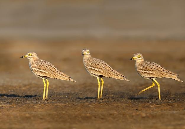 Kulik zwyczajny. rzadki i egzotyczny ptak o ogromnych żółtych oczach w naturalnym środowisku