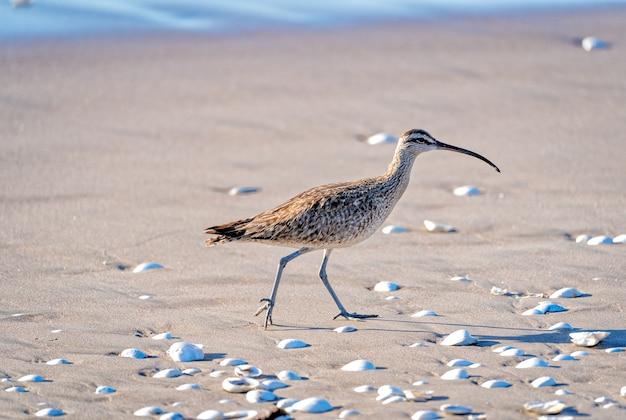 Kulki lub ptak numenius spacerujący po plaży