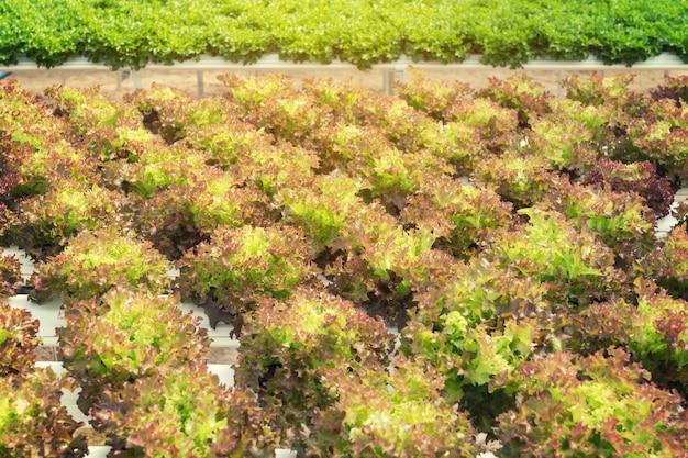 Kultywacja sałaty na hydroponicznych systemach z wodą i nawozami w nawadnianiu.