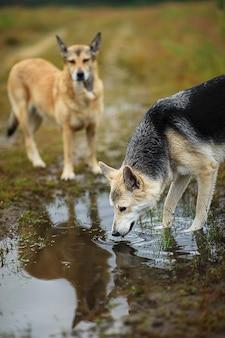 Kundel bezpański pies pijący wodę z kałuży