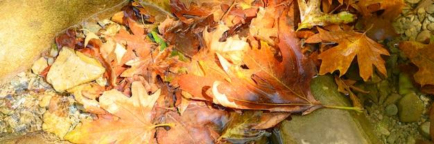 Kupie mokre opadłe jesienne liście klonu w wodzie i skałach.