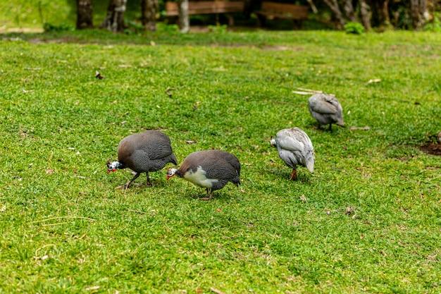 Kura angola chodzenie na trawniku gospodarstwa.