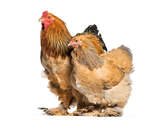 Kura brahma i kogut stojący na białej powierzchni