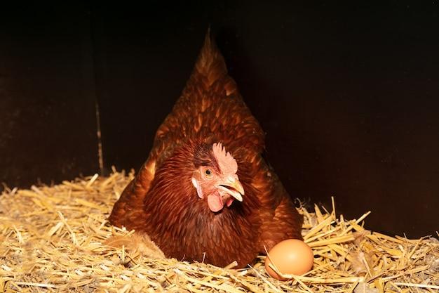 Kura składa jaja w gnieździe