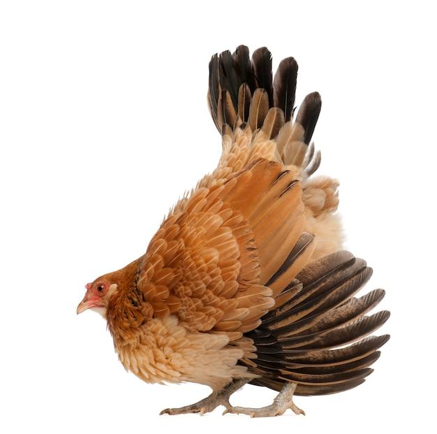 Kura w postawie obronnej przeciwko białej powierzchni
