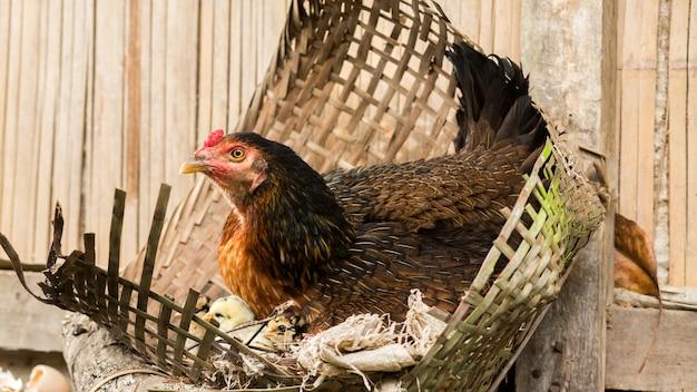 Kura z małymi kurczakami
