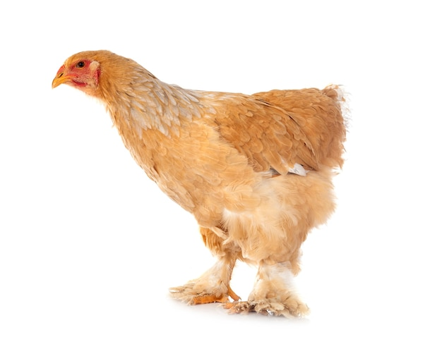 Kurczak brahma na białym tle