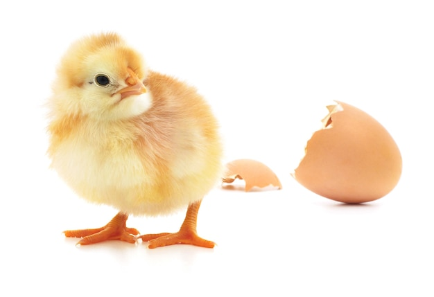 Kurczak i skorupka jajka na białym tle