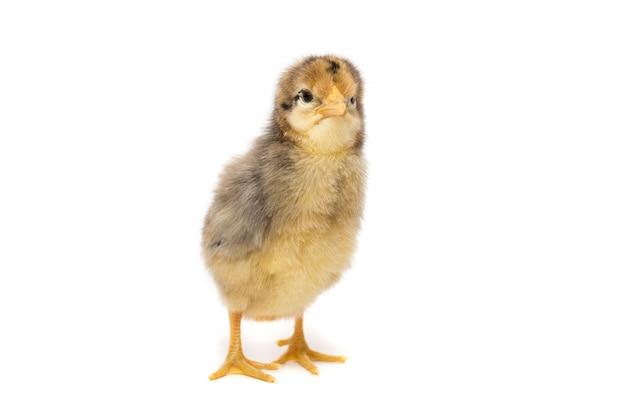 Kurczak na białym tle