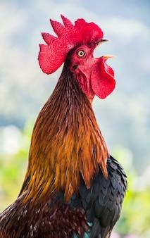 Kurczak na farmie na święto dziękczynienia