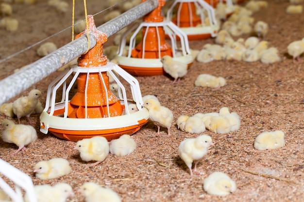 Kurczak na fermie drobiu