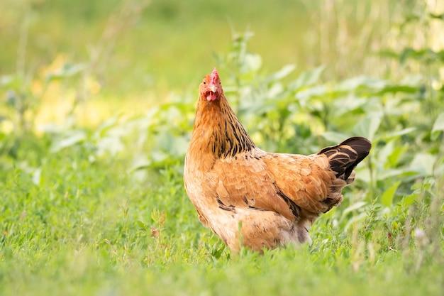 Kurczak na trawie