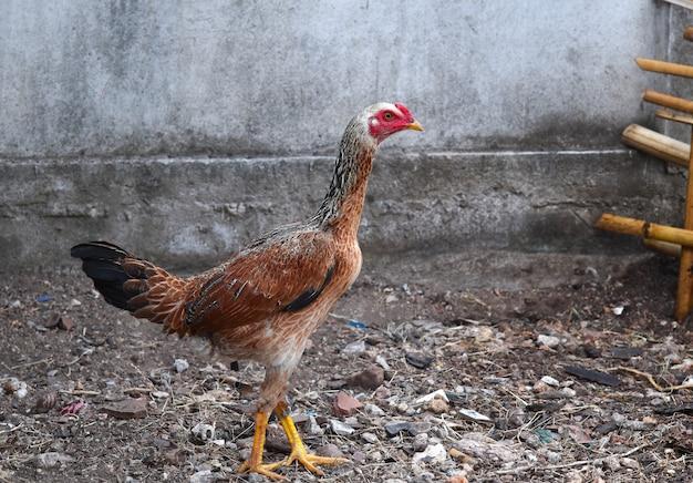 Kurczak na ziemi