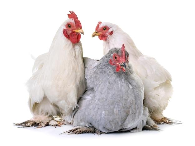 Kurczak pekin w studio