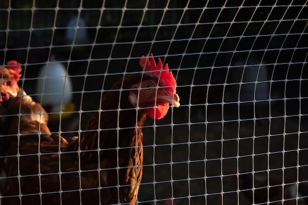 Kurczak w klatce czeka na jedzenie na farmie