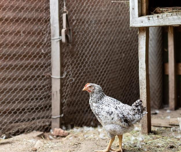 Kurczak w kurniku.