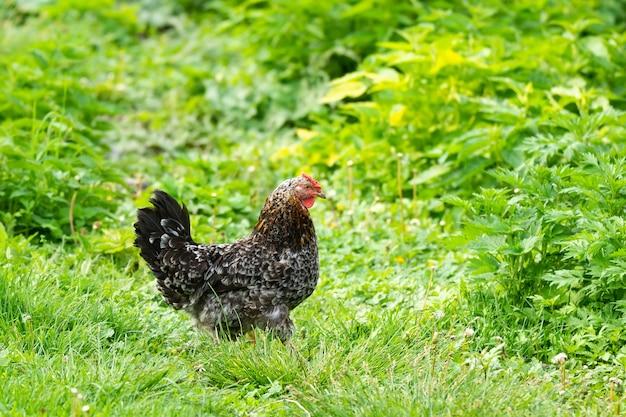 Kurczak w ogrodzie na trawie