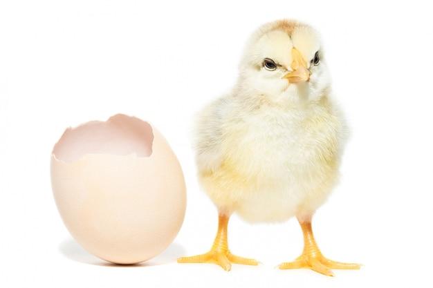 Kurczak wykluł się z muszli