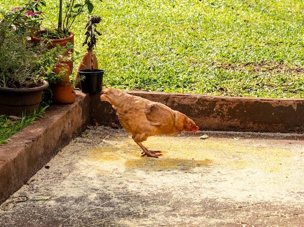 Kurczak z wolnego wybiegu (gallus gallus domesticus) jedzący mieloną kukurydzę w ogrodzie.