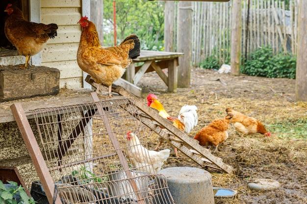 Kurczak z wolnego wybiegu w gospodarstwie ekologicznym swobodnie wypasany na podwórku na tle ranczo kury kury gr...