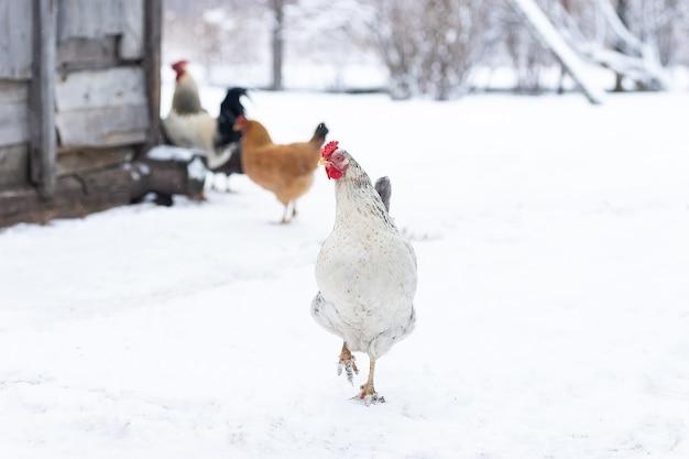 Kurczak z wolnego wybiegu żeruje, gdy zimą pada lekki śnieg