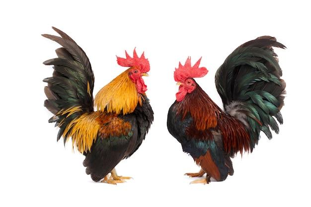 Kurczaka bantam na białym tle