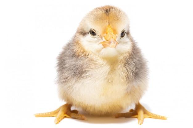 Kurczaka jajko na białym tle