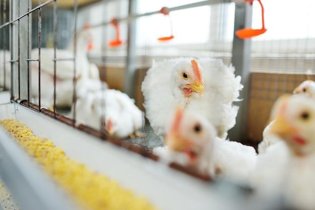 Kurczaki brojlery w klatkach na fermie drobiu