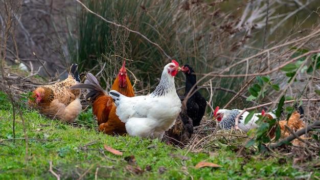 Kurczaki domowe na łące