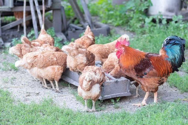 Kurczaki i piękny kogut dziobią ziarno z karmnika w pobliżu kurnika
