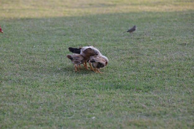 Kurczaki jedzące krzaki różnego rodzaju i wielkości na trawie w polu