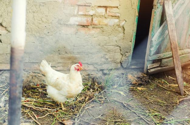 Kurczaki na farmie, rolnictwo, wieś