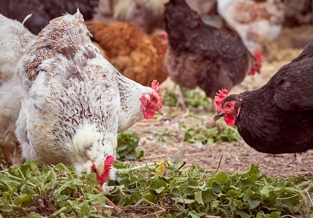 Kurczaki na tradycyjnej farmie.