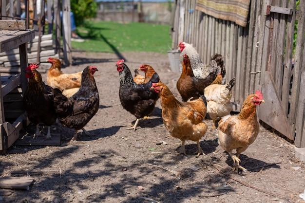 Kurczaki pasą się na trawniku w gospodarstwie domowym