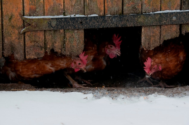Kurczaki przychodzące pod drzwiami do stodoły