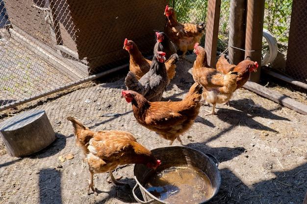 Kurczaki w kurniku.