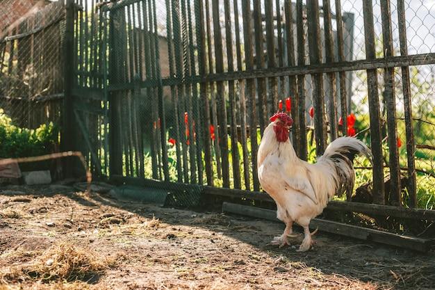 Kurczaki z wolnego wybiegu w golden hour cieszą się popołudniem