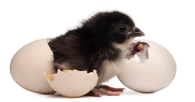 Kurczątko - gallus gallus domesticus stojący obok jajka