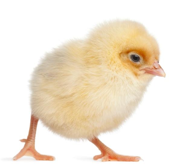 Kurczątko z jajkiem odizolowywającym na bielu
