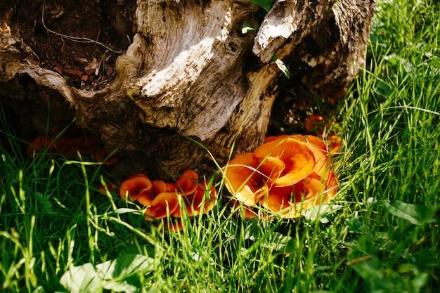 Kurki pomarańczowe w zielonej trawie pod pniem