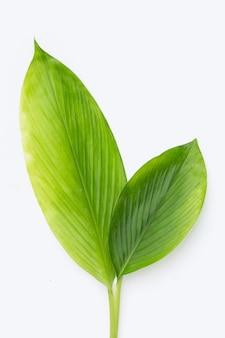 Kurkuma comosa liście na białym tle.