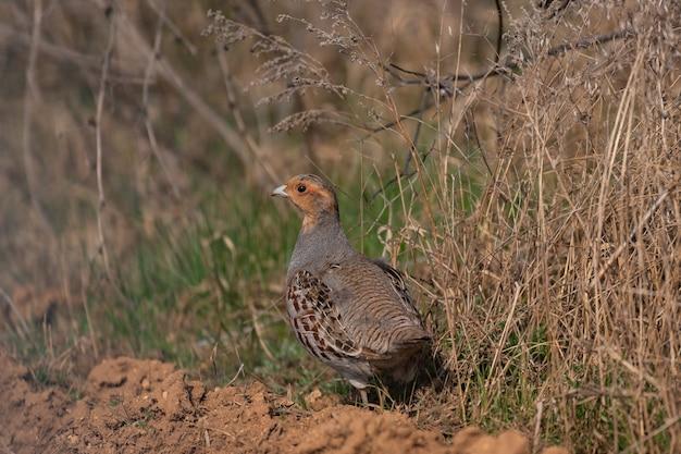 Kuropatwa szara, perdix perdix, pojedynczy ptak na trawie.